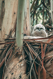 Baby Great Horned Owl in Eucalyptus  Berkeley California