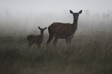 An Alert Red Deer Doe  Cervus Elaphus  and Her Fawn in Fog