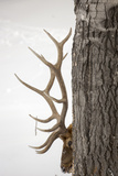 A Bull Elk, Cervus Elaphus, with Six Points on Each Side of His Antlers, Indicating Full Maturity Papier Photo par Robbie George