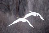 Two Tundra Swans  Cygnus Columbianus  Flying Through Wintry Skies