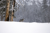 A Gray Wolf  Canis Lupus  Howling in a Snowy Landscape