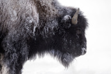 Portrait of a Frost-Covered American Bison  Bison Bison  in Snow