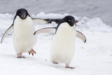A Pair of Adelie Penguin  Pygoscelis Adeliae  Walking at Brown Bluff on the Antarctic Sound