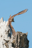 An American Kestrel Takes Off from a Broken Cottonwood Tree
