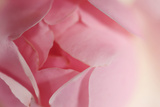 Close Up of a Pink Rose Cultivar in a Garden