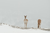 Two Pronghorn Antelopes Graze on a Snow-Covered Landscape