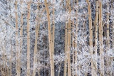 Snow Clings to Aspens in the Sangre De Cristo Mountains