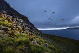 Auks in Flight Off an Island in the Franz Josef Archipelago