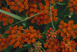 Close Up of Butterfly Milkweed