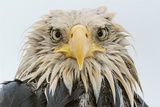 A Bald Eagle  Haliaeetus Leucocephalus  after Several Days of Heavy Rainfall