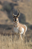 A Pronghorn Antelope Stands Alert  Looking at the Camera