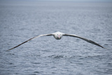 A Wandering Albatross  Snowy Albatross or White-Winged Albatross