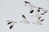 A Flock of Snow Geese in Flight