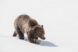 A Grizzly Bear Walks Through Thick Snowdrift