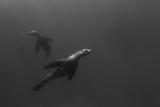 A Sea Lion Swims Off Santa Barbara Island