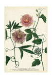 Antique Passion Flower I