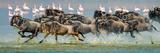 Wildebeests (Connochaetes Taurinus) Stampede