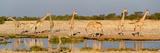 Giraffes (Giraffa Camelopardalis) at Waterhole  Etosha National Park  Namibia