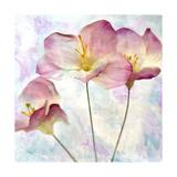 Pink Hyacinth IV