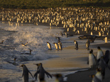 King Penguins  Elephant and Fur Seals  Entering the Surf in Early Morning Sunlight