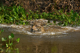 A Wild Jaguar Swims in the Cuiaba River after Jumping in to Catch Prey