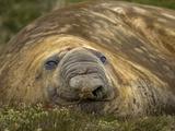 Close Up Portrait of a Southern Elephant Seal  Mirounga Leonina  Resting on Shore