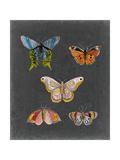 Butterflies on Slate II