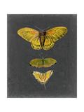 Butterflies on Slate I
