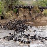 Wildebeests Crossing Mara River  Serengeti National Park  Tanzania