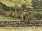 A Goat Stands on a Stone Wall Next to a Fence in County Kerry  Ireland