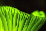 Brazilian 'Coconut Flower' Mushrooms Glow in the Dark