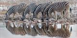 Burchell's Zebras (Equus Quagga Burchellii) Drinking Water  Etosha National Park  Namibia