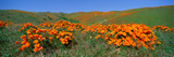 Poppies and Wildflowers  Antelope Valley  California