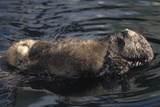 A Sea Otter Pup  Enhydra Lutris  Resting on its Mother's Stomach in a Kelp Bed