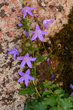 Tiny Vine with Purple Flowers Climbing Up a Stone Wall