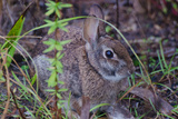 Portrait of a Rabbit in the Big Cypress National Preserve