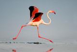 Greater Flamingo (Phoenicopterus Roseus) in a Lake  Ndutu  Ngorongoro Conservation Area  Tanzania
