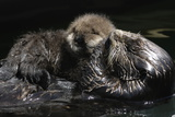 A Sea Otter  Enhydra Lutris  Grooming Her Pup