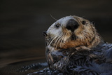 Close Up Portrait of a Sea Otter  Enhydra Lutris  Floating on its Back