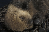 Close Up Portrait of a Sea Otter Pup  Enhydra Lutris  Resting on its Mother's Stomach