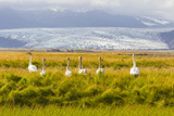 A Family of Whooper Swans in Tall Grass Near a Large Glacier on the South Coast of Iceland
