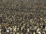 A King Penguin Rookery  Aptenodytes Patagonicus  One of the Largest Breeding Colonies on Earth