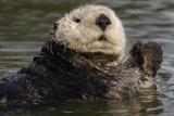 Portrait of a Sea Otter  Enhydra Lutris  Floating in Water