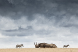 A Black Rhinoceros in Solio Rhino Sanctuary Bookended by Two Plains Zebras
