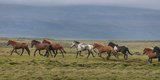 Horses Running in the Countryside  Iceland