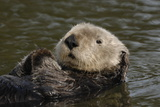 Portrait of a Sea Otter  Enhydra Lutris  Floating on its Back
