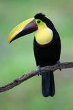 Keel-Billed Toucan (Ramphastos Sulfuratus)  Sarapiqui  Costa Rica