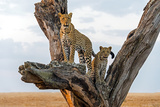 Leopard (Panthera Pardus) Family on Tree  Serengeti National Park  Tanzania