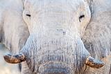 African Elephant (Loxodonta Africana)  Etosha National Park  Namibia