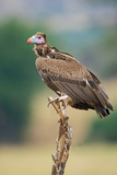 Close-Up of White-Headed Vulture (Trigonoceps Occipitalis) Perching on Tree Stump